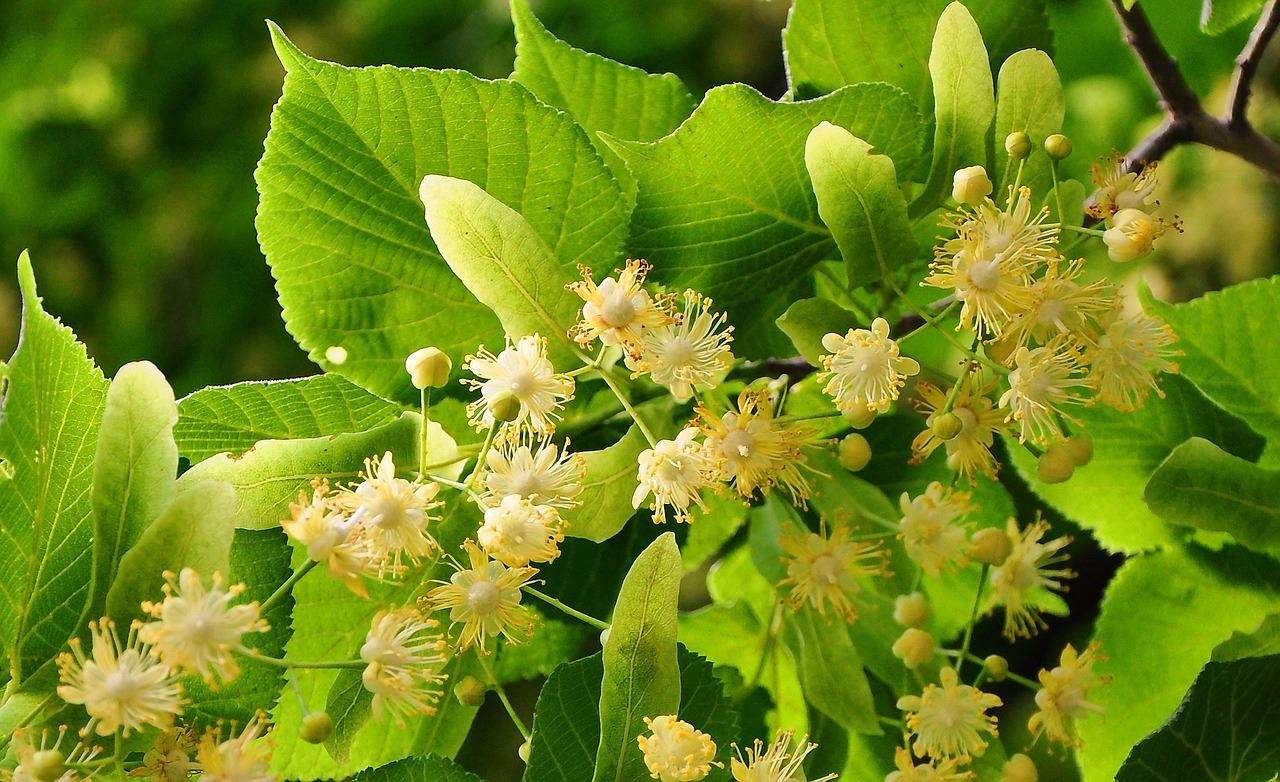 Gentle touch of linden flowers