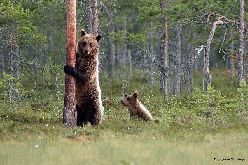 Upplev och fota Björn