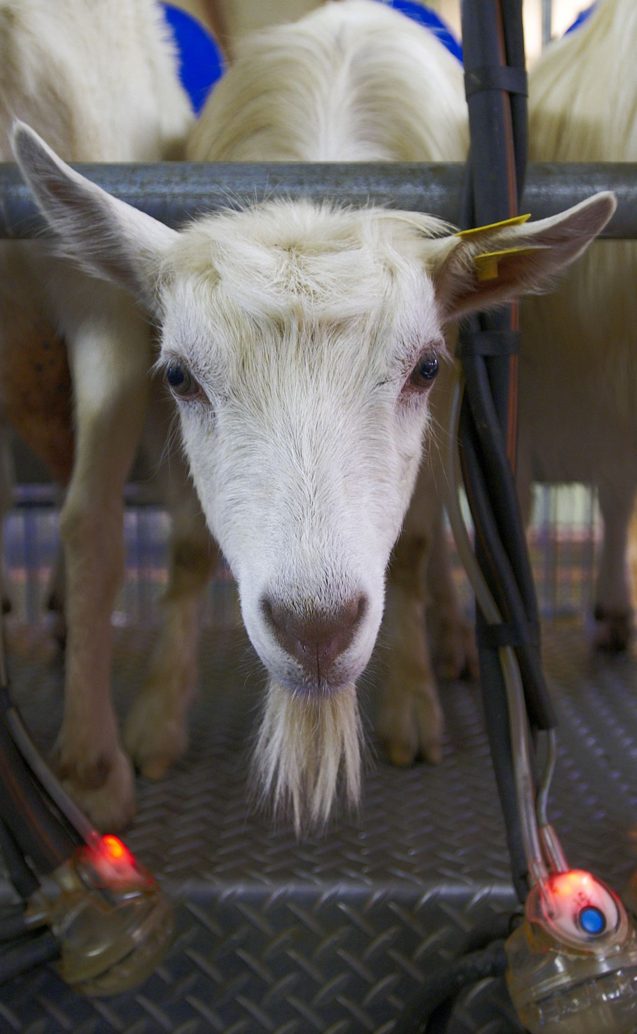 Make your organic cheese on a goat farm this summer in Lofoten!