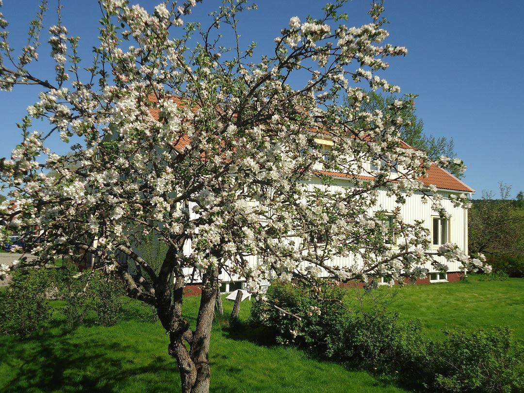 Blommande äppelträd i trädgården, maj 2012