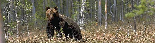 Björnjakt i Hamra