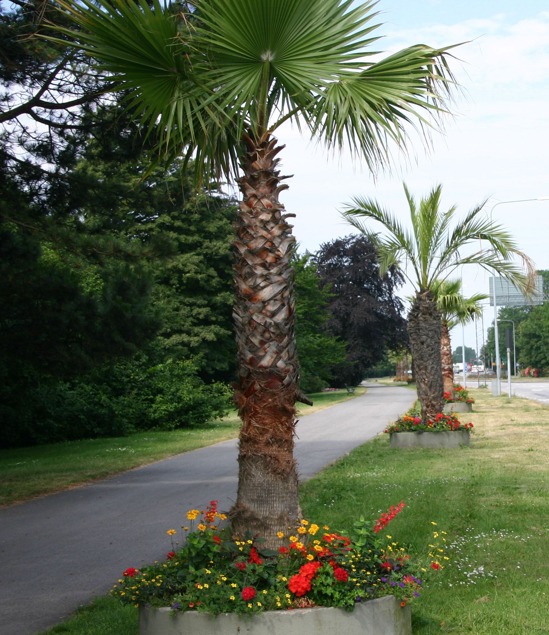 The palm trees in Trelleborg