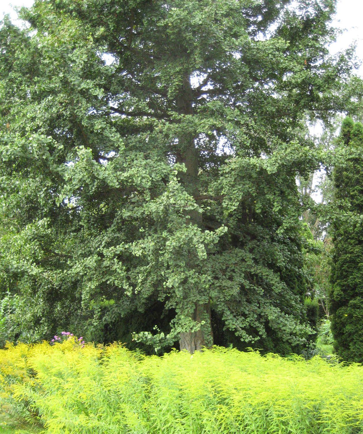 Ginkgoträd i trädgården på Skivarps Gästgiivargård.