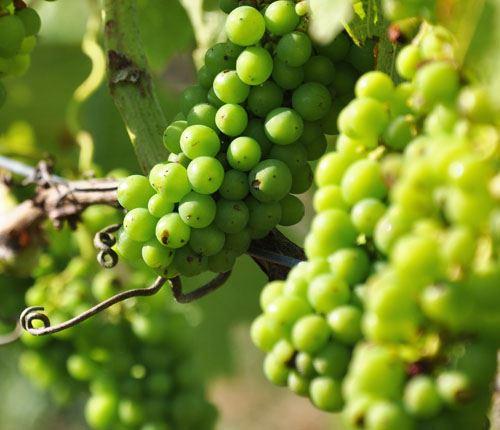Aplagårdens vinhus