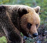 Björnskådning i Finnskogsriket