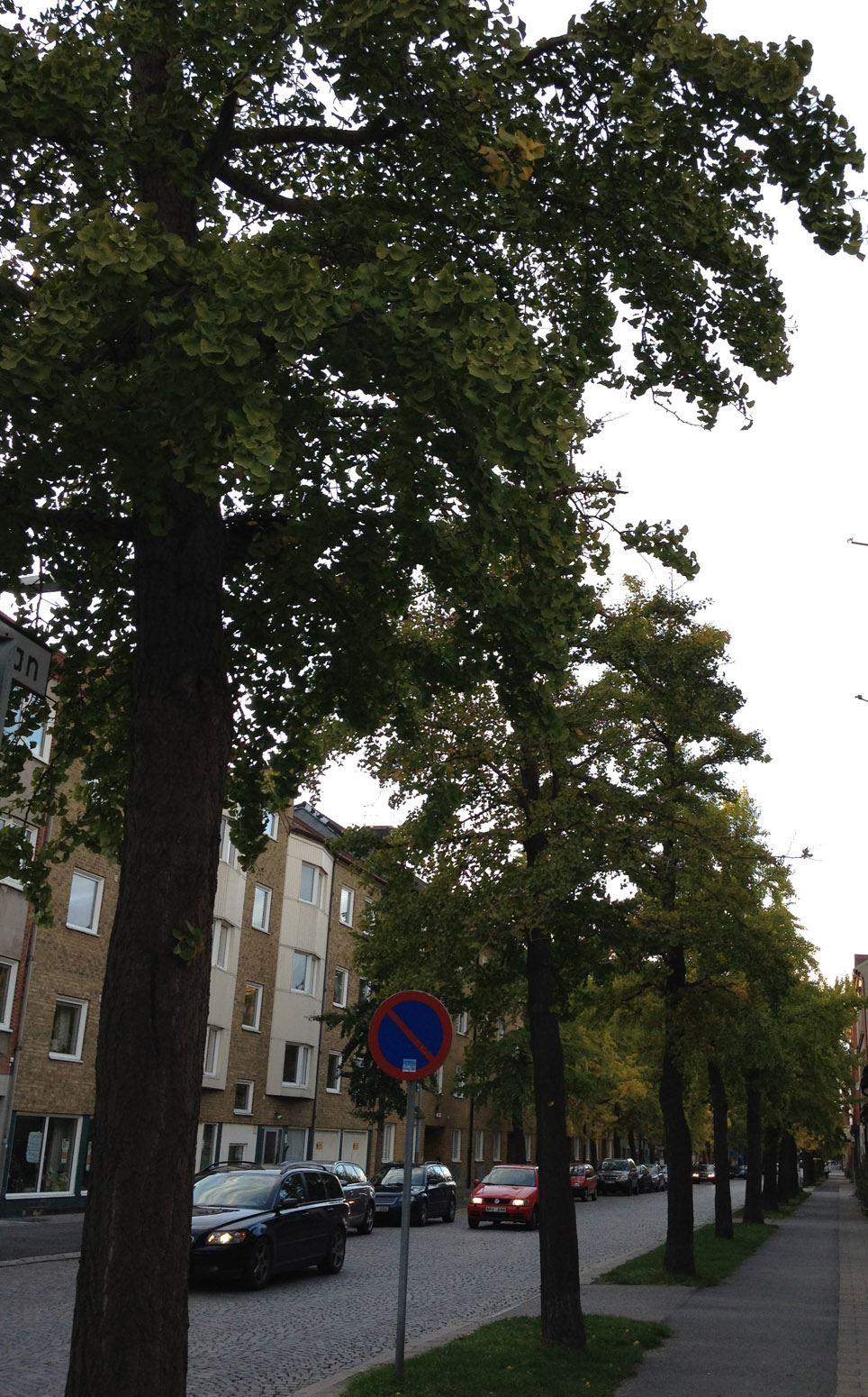 Sveriges sydligaste ginkgoallé