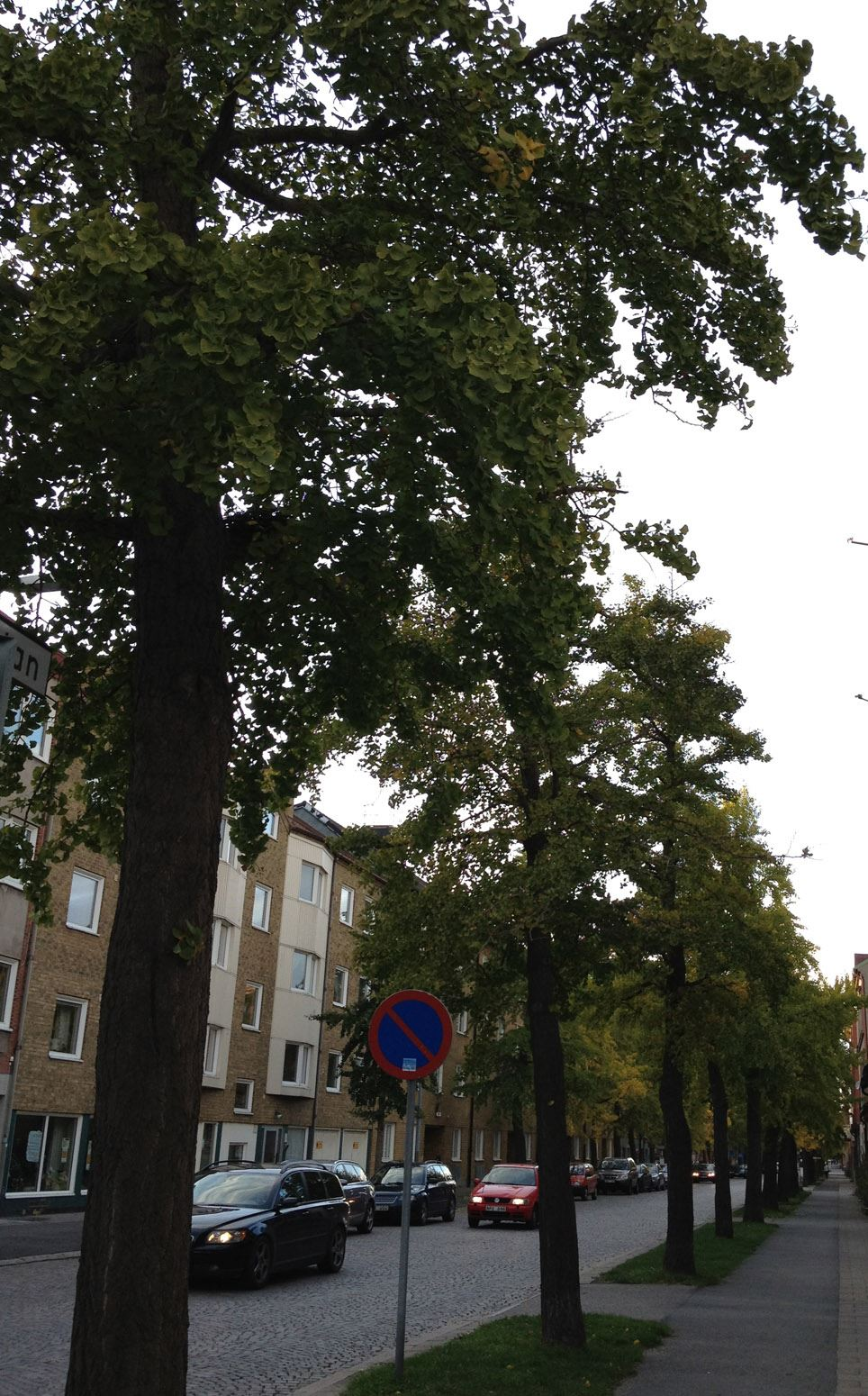 Sweden's most southern ginkgo avenue