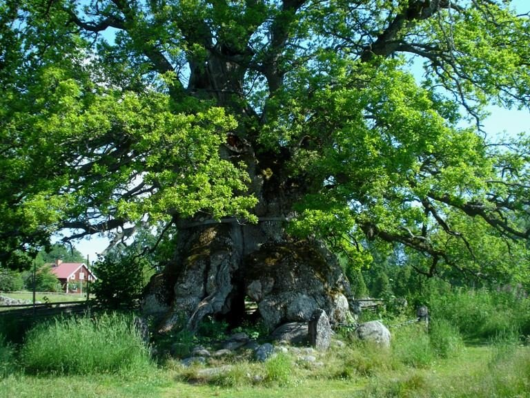 The Kvill Oak