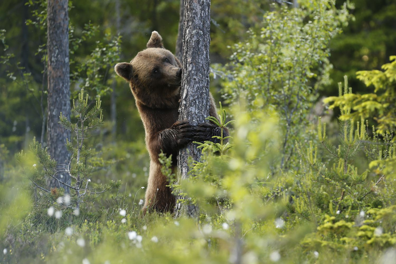 Håkan Vargas S.,  © Håkan Vargas S., Den här hannen kände lukten av en hona som skrubbat sig mot trädet kvällen innan.