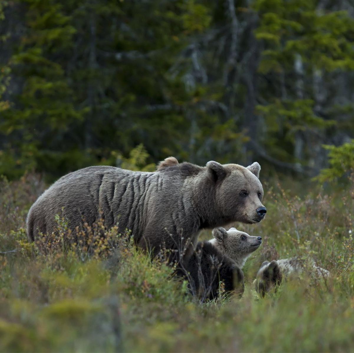 Håkan Vargas S.,  © Håkan Vargas S., En kväll när vi minst anar kommer mamma björn och visar oss sina små.
