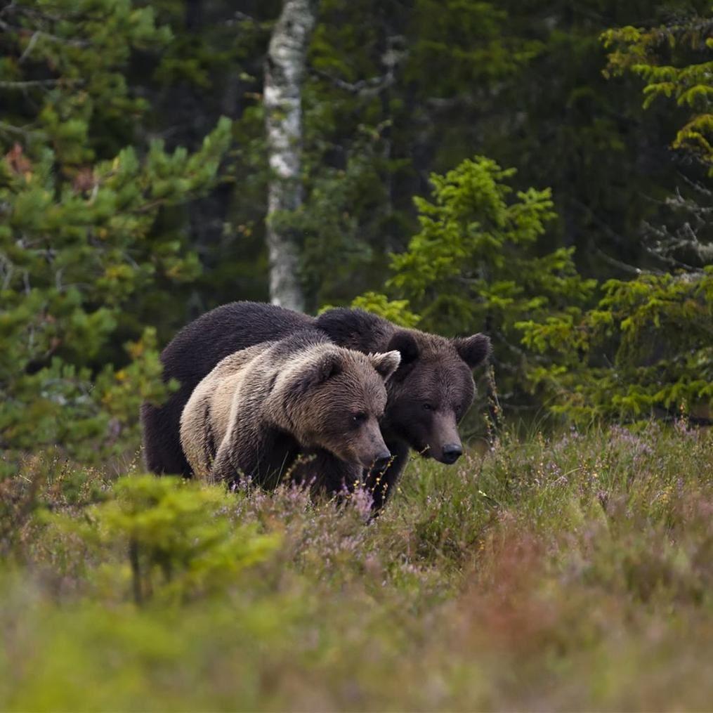 Håkan Vargas S.,  © Håkan Vargas S., På försommaren infaller björnarnas parningtid. Då kan man se flera björnar samtidigt.