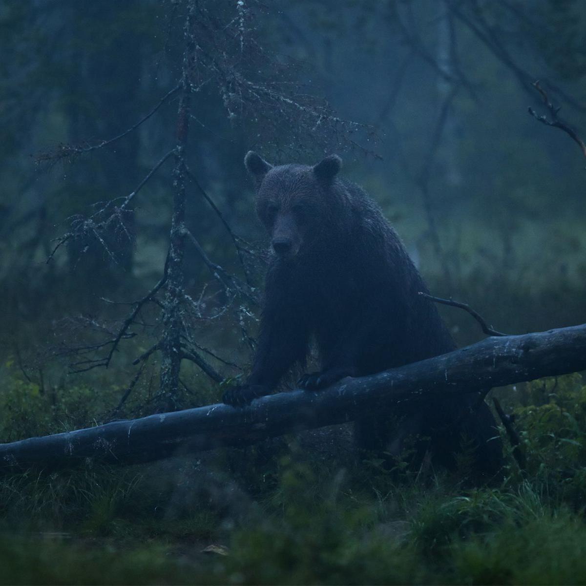 Håkan Vargas S.,  © Håkan Vargas S., En björnhanne visar upp sig.