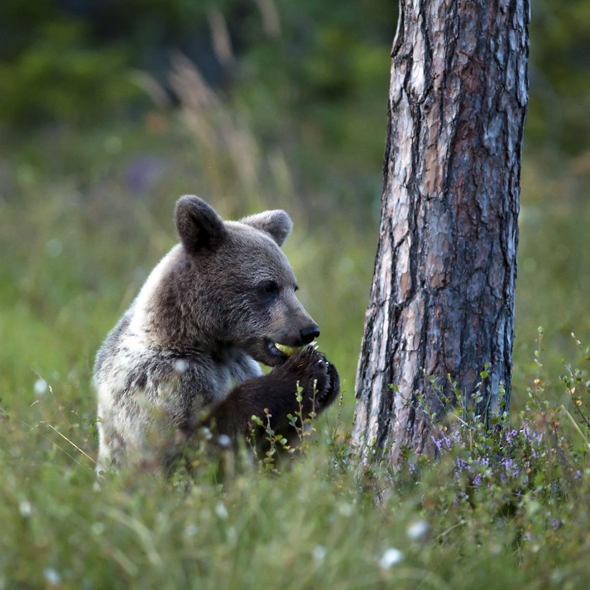 Håkan Vargas S,  © Håkan Vargas S., Mindre björnar verkar använda tassarna i större utsträckning när de äter.