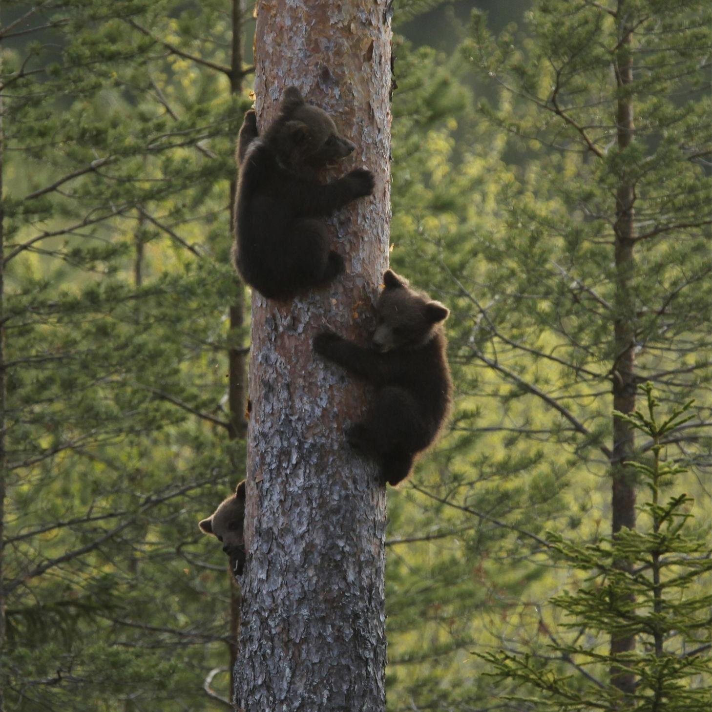 Håkan Vargas S.,  © Håkan Vargas S., Vid fara klättrar björnungarna mycket snabbt upp i närmaste träd, och