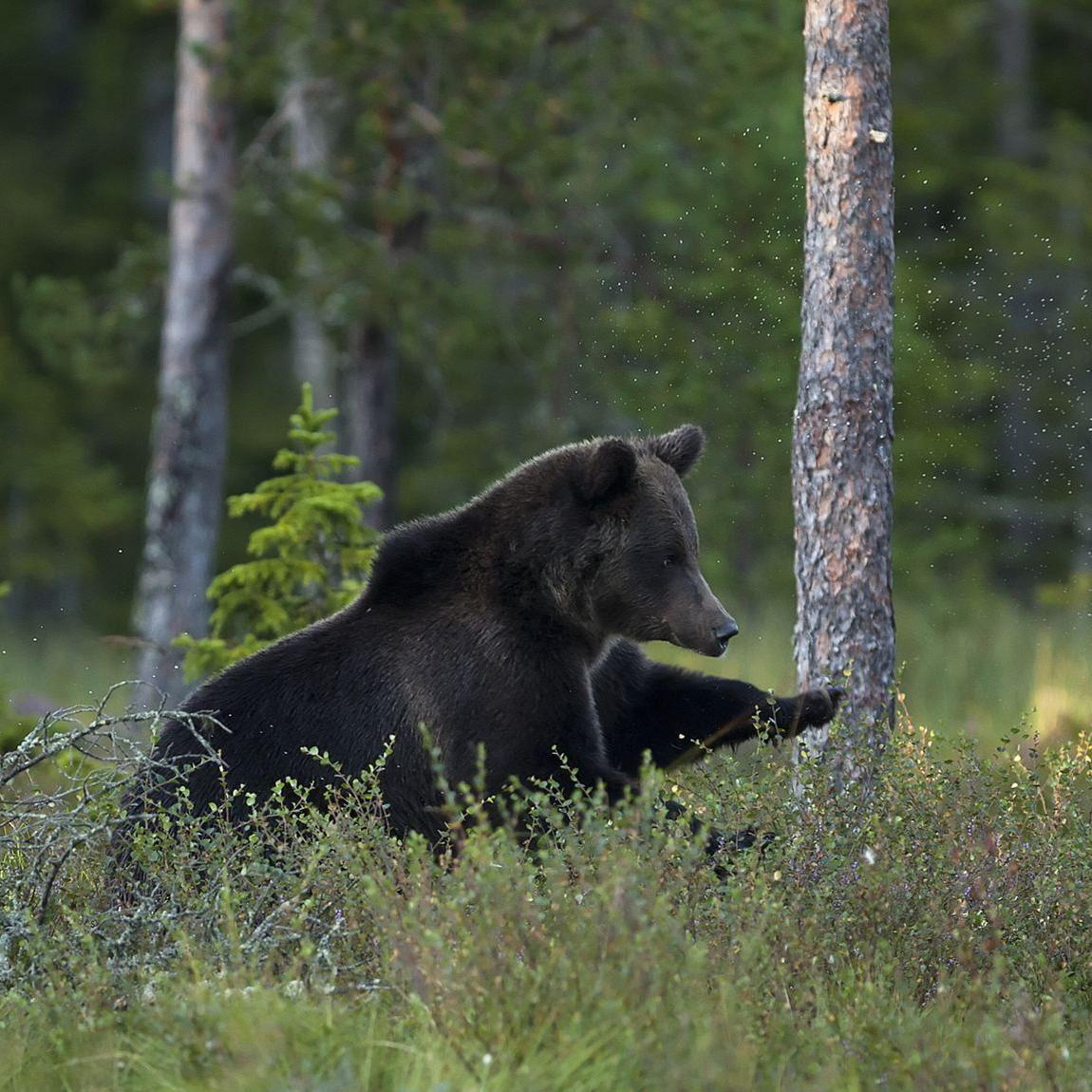 Håkan Vargas S.,  © Håkan Vargas S., Även vuxna björnar leker.