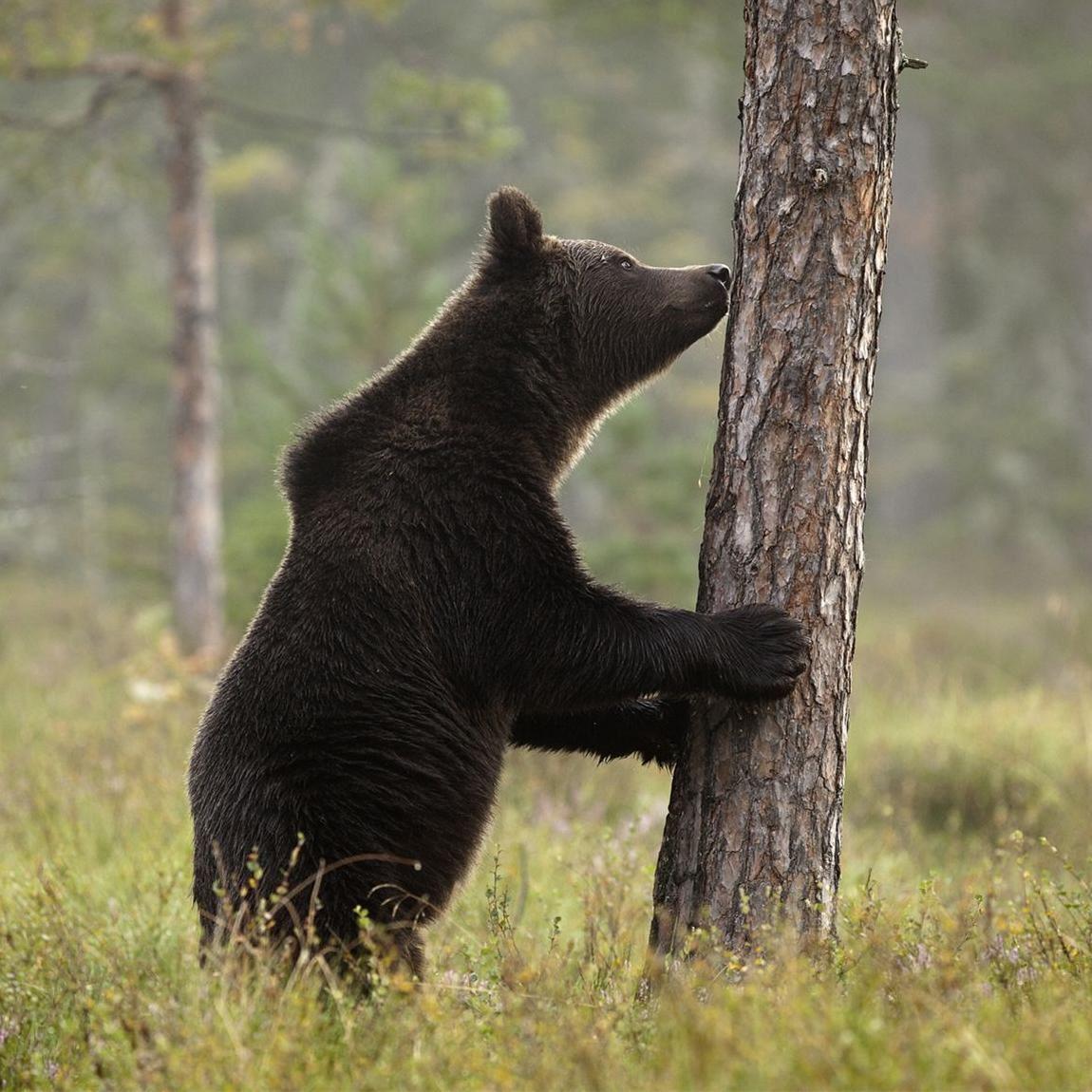 Håkan Vargas S.,  © Håkan Vargas S., Har man lite tur gör björnarna sån´t som blir bra på bild.