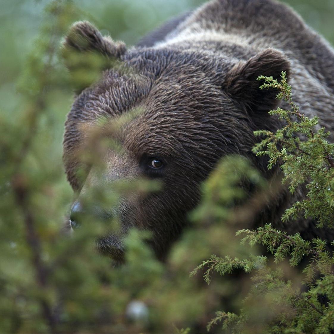 Håkan Vargas S.,  © Håkan Vargas S., Som fotograf blir man lycklig när någon björn törs komma lite närmare.