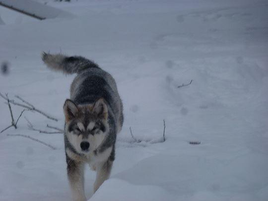 Nordisk Vildmarksupplevelse Dogsledding in Sörsjön