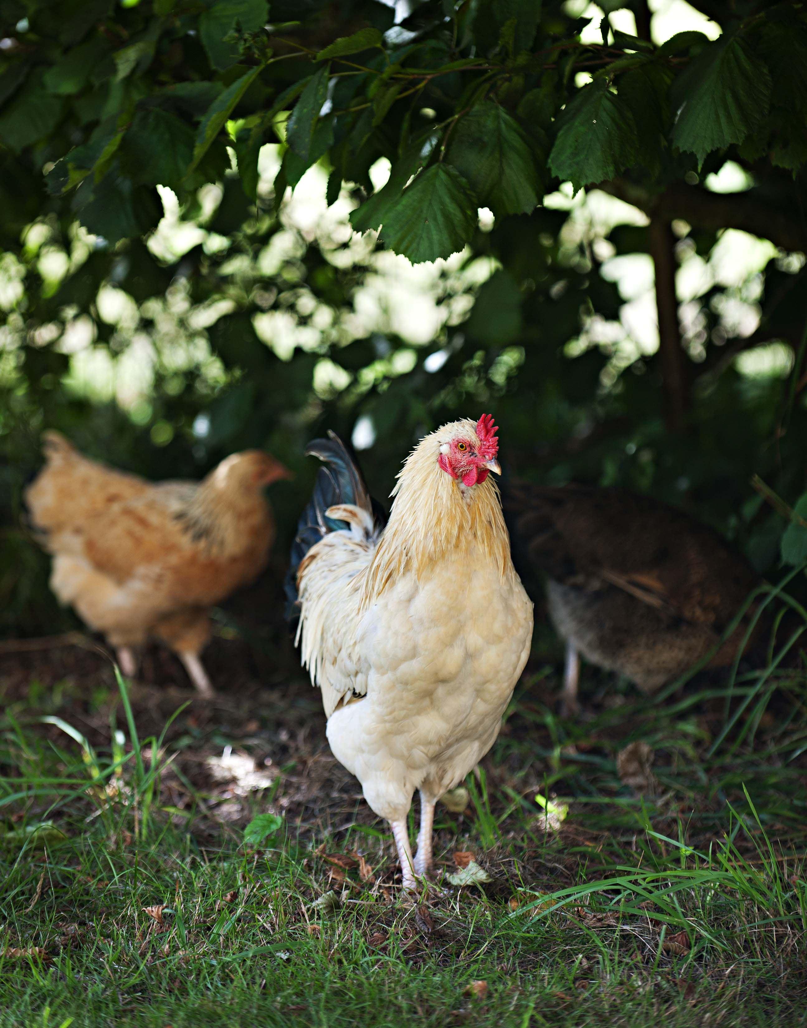 Privat,  © Privat, Vi har egna djur - höns, ankor och katt - och välkomnar våra gästers husdjur.