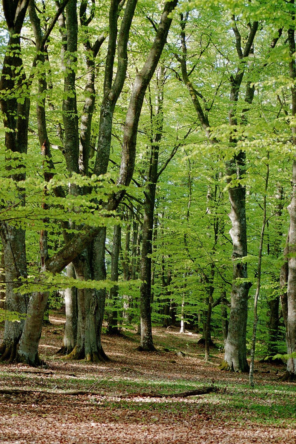 Stora Kärr beech forest
