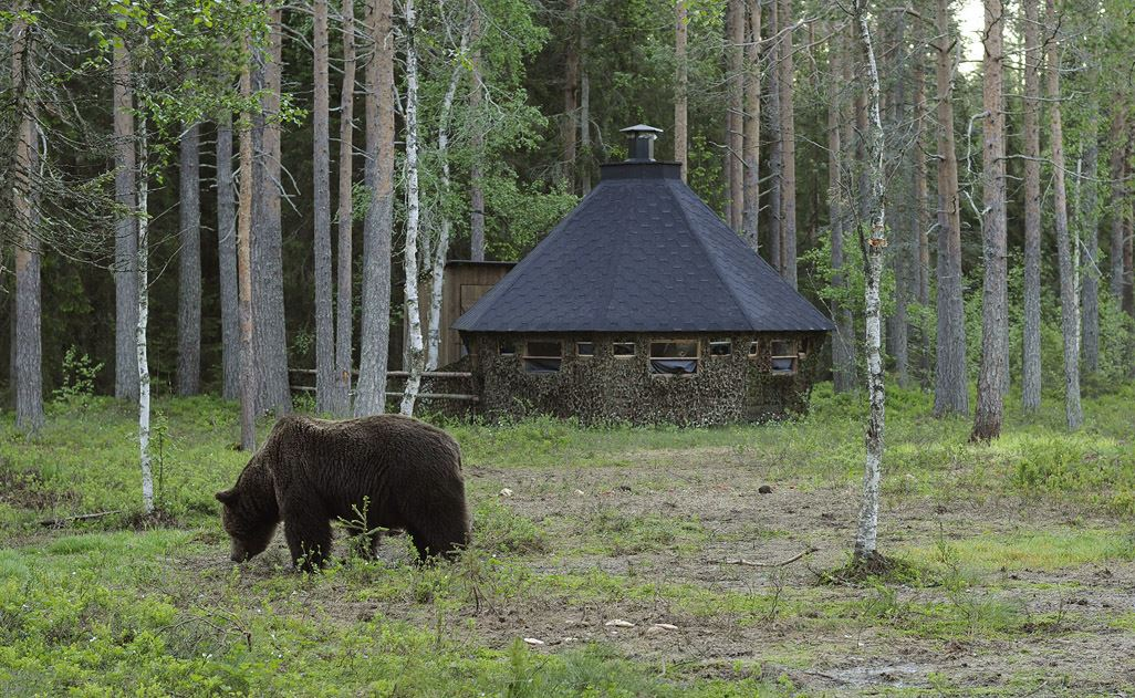 Bear watching in the real wilderness Sweden
