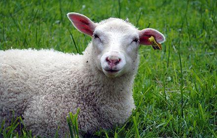 Ett får i Hemlingby friluftsområde