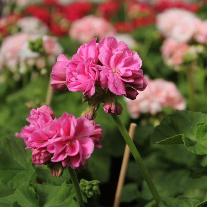 Hedvigs trädgård rosa blomma