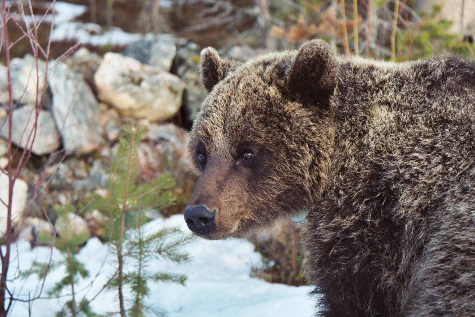 Björnexkursioner - Björn & Vildmark i Orsa