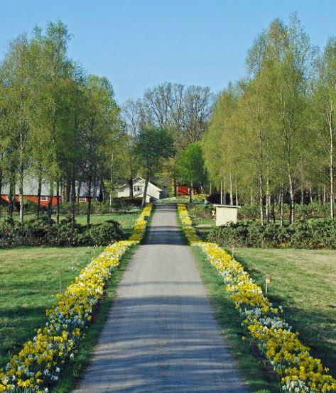 Fagerås påskliljor,  © Fagerås påskliljor, påskliljor