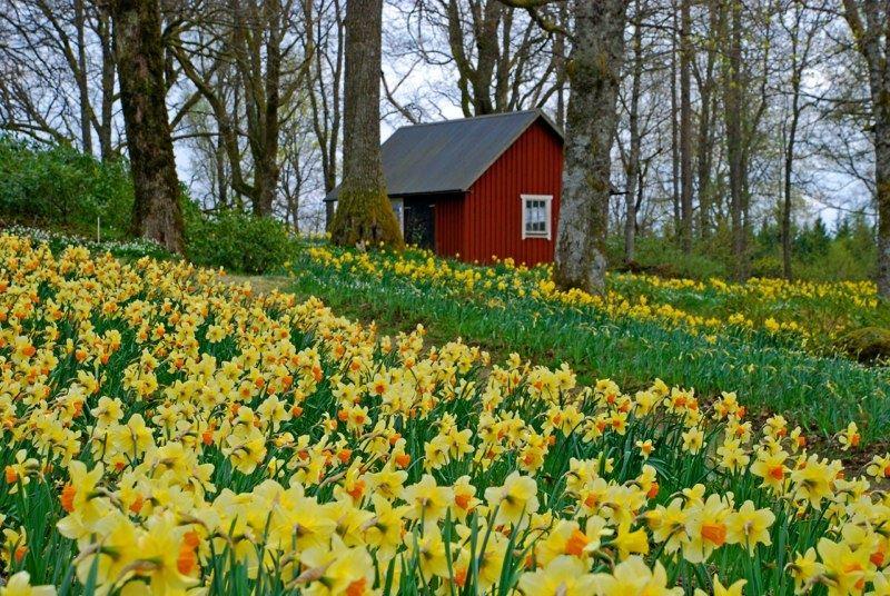 Fagerås,  © Fagerås påskliljor, The daffodils in Fagerås