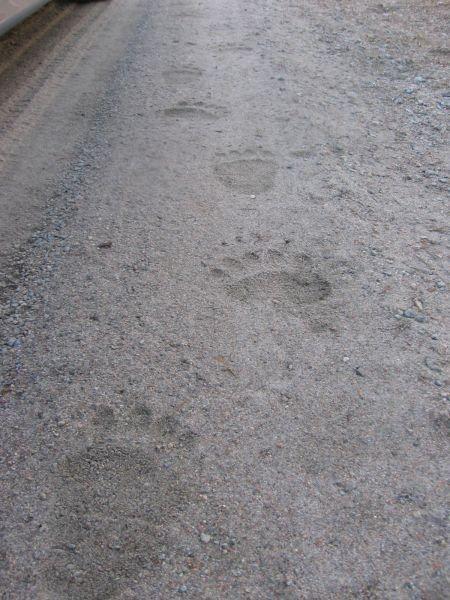 Vandringsäventyr genom björnskog.
