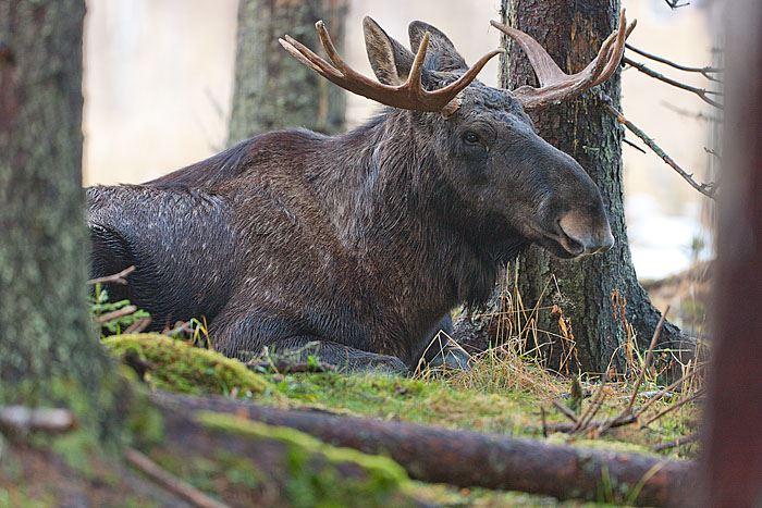 Möt skogens konung på Älgens Hus