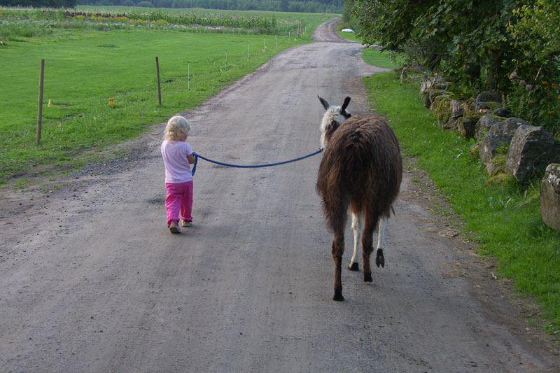 Denningarums gård,  © Denningarums gård, Lamadjur och barn på promenad, Denningarums gård