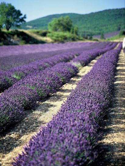 lavender tour morning