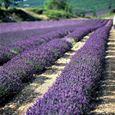 Excursion Lavender tour matin Luberon - A la Française ! Provence