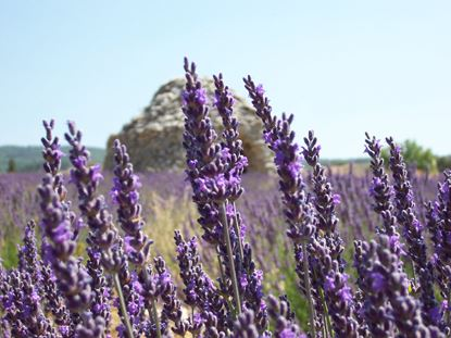 lavender tour afternoon Luberon