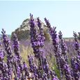 Excursion lavender tour après-midi Luberon