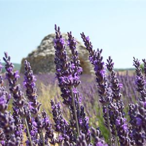 Excursion lavender tour après-midi Luberon