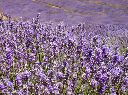 Excursion lavender tour après-midi