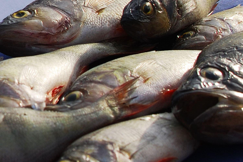 Tobias Delfin, Holjeån fiske