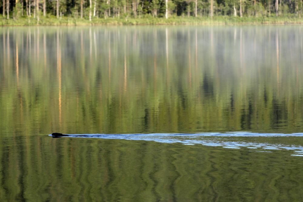 Bäverjakt Hedströmmen Södra Dalarna och Västmanland