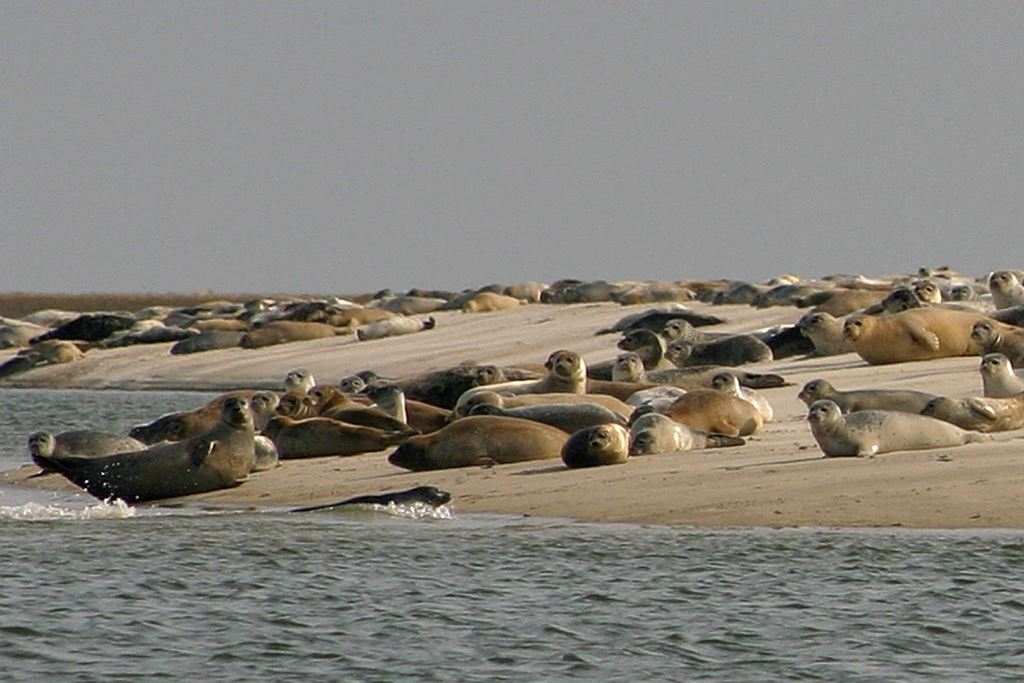 Sealsafari (Danish and English) by Strandskaden