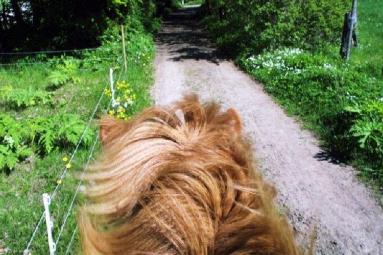 Kristine Barner/Kullabergs Islandshästar ,  © Kristine Barner/Kullabergs Islandshästar , Kullabergs Islandshästar