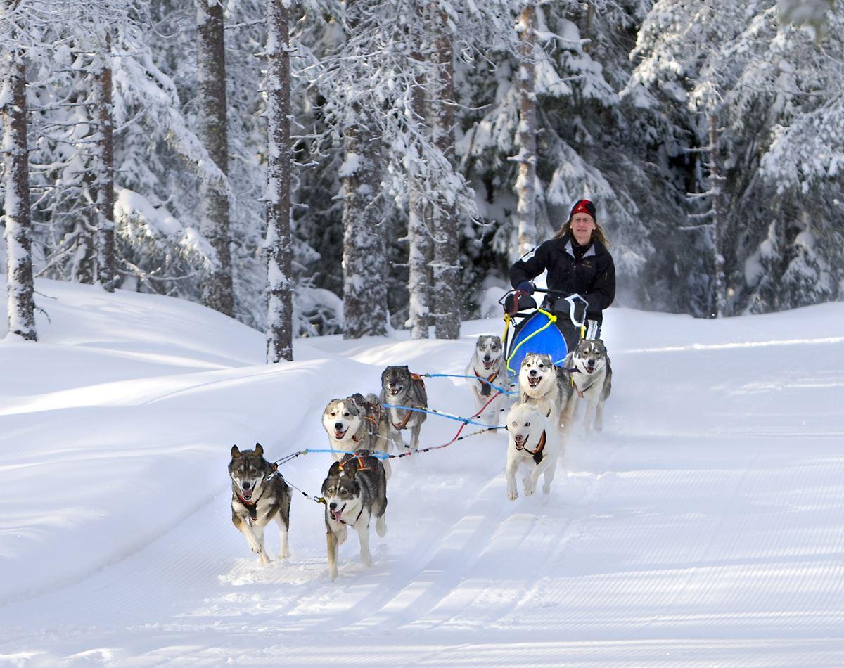 Dante Dahlgren,  © Dante Dahlgren, Hundspann med Hedlunda husky