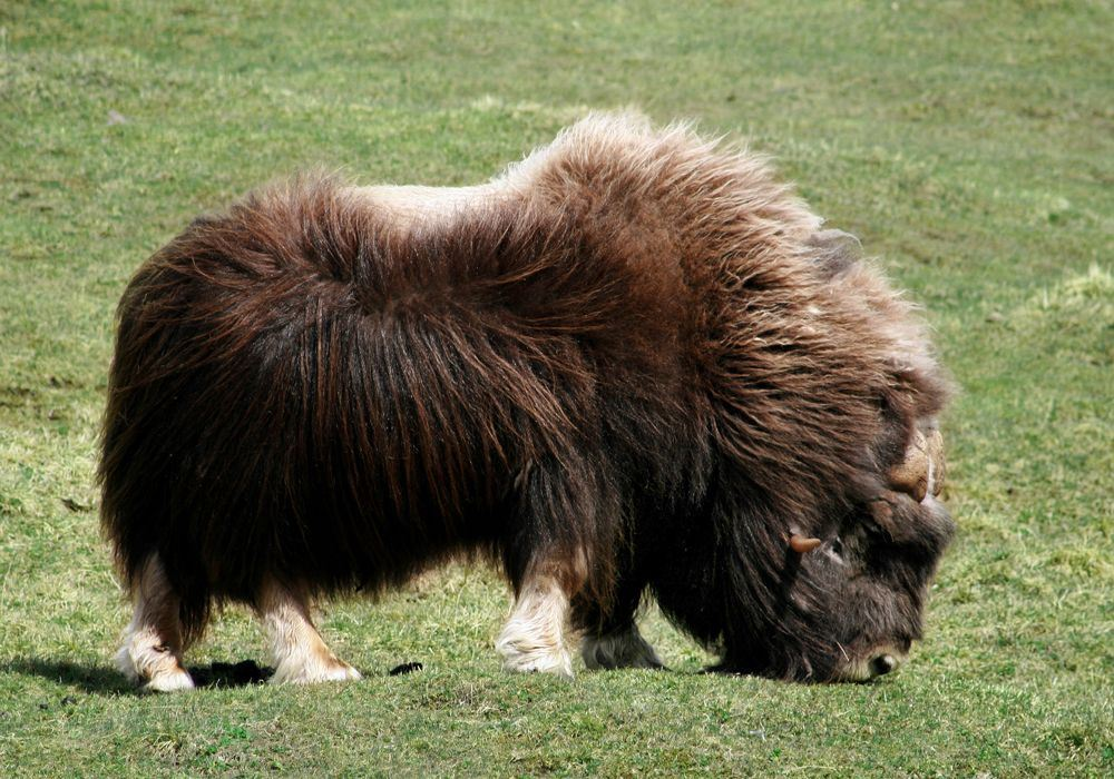 Musk Ox Safari