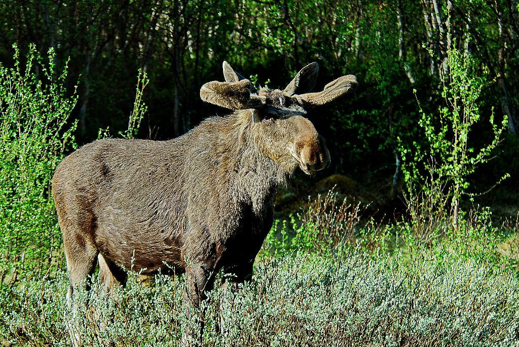 Moose Safari Personal Tour