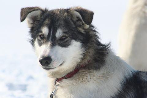 Hundspannsturer med The Howling Dog Farm