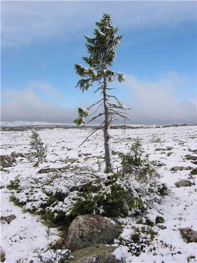 Old Tjikko - Världens äldsta träd