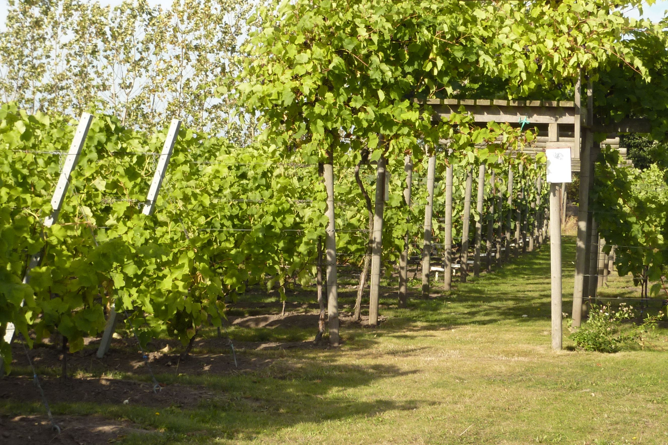 Wineyard in Klagshamn
