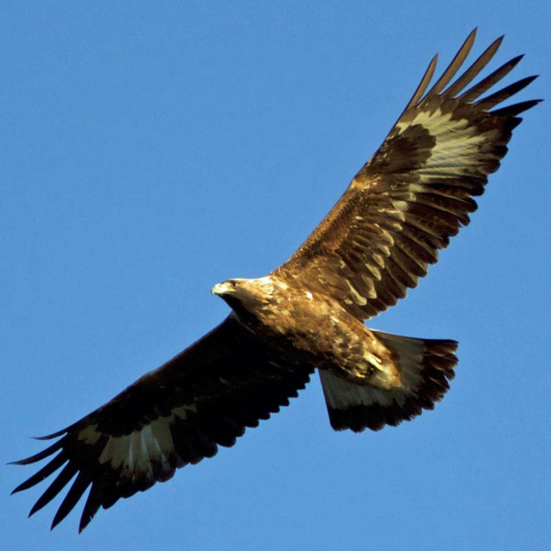 Fågelskådning - Örnsafari